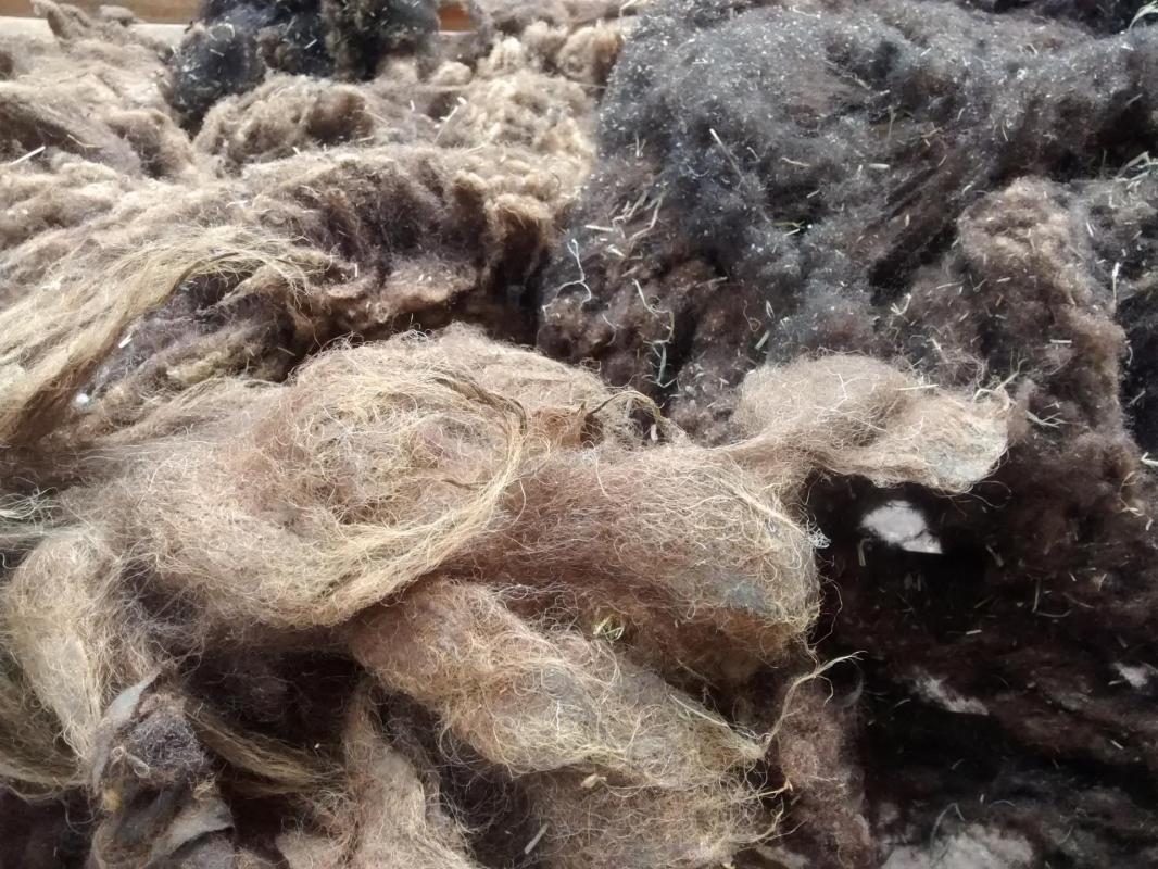 Tondre la laine des moutons